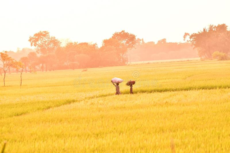 Golden paddy field. Two little poor girls are leaving paddy field after a day`s hard work during the sunset. At dusk the paddy field assuming beautiful golden royalty free stock photos
