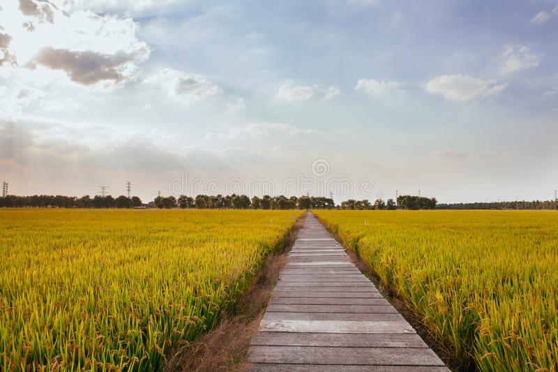 Golden paddy fields. A path in a golden paddy field stock images