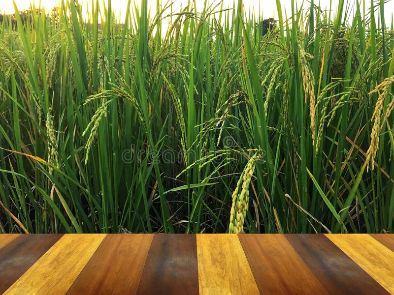 Golden paddy in green rice field behind brown wooden terrace. Real nature of countryside with sunset in the evening stock image