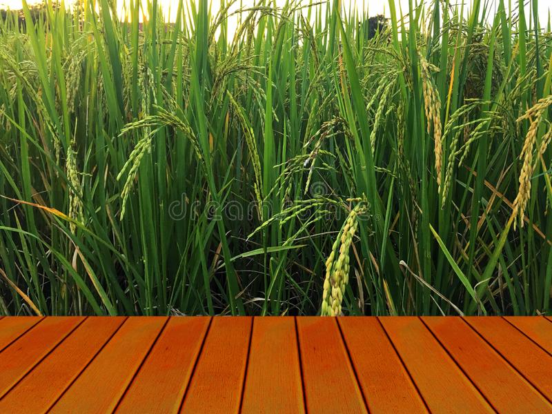 Golden paddy in green rice field behind brown wooden terrace. Real nature of countryside with sunset in the evening stock images