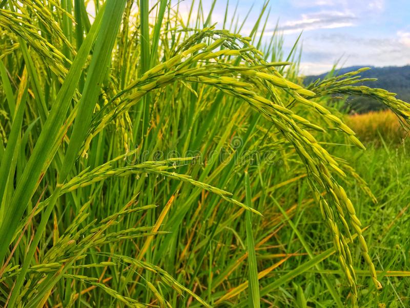 Golden paddy in green rice field. Real nature of countryside in the evening royalty free stock photo