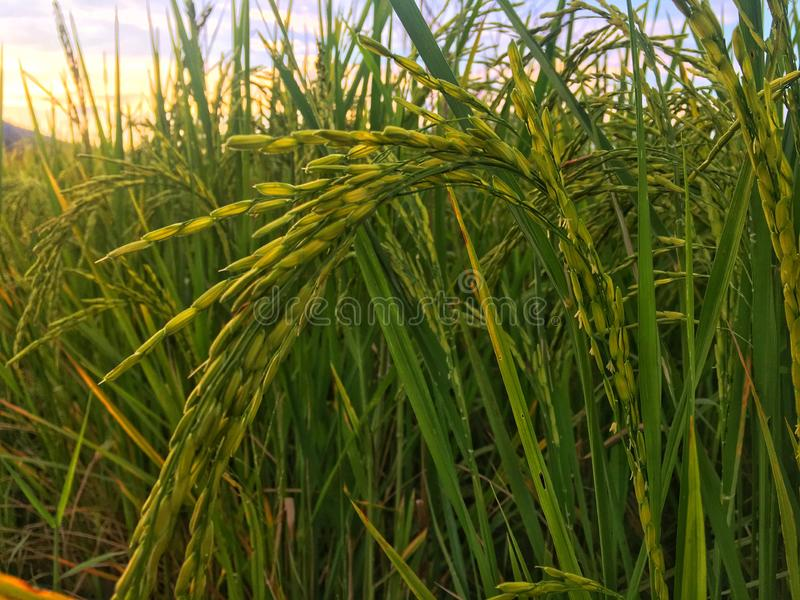 Golden paddy in green rice field. Real nature of countryside with sunset. Golden paddy in green rice field. Real nature of countryside with sunset in the stock image