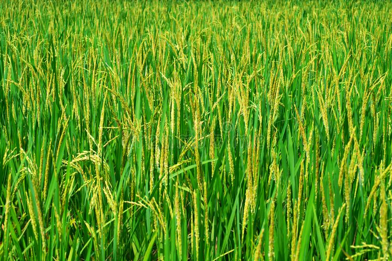Golden paddy rice grains are shining on the green paddy plant under the golden sunlight at the village in India. Rice fields for cultivating farmers royalty free stock image