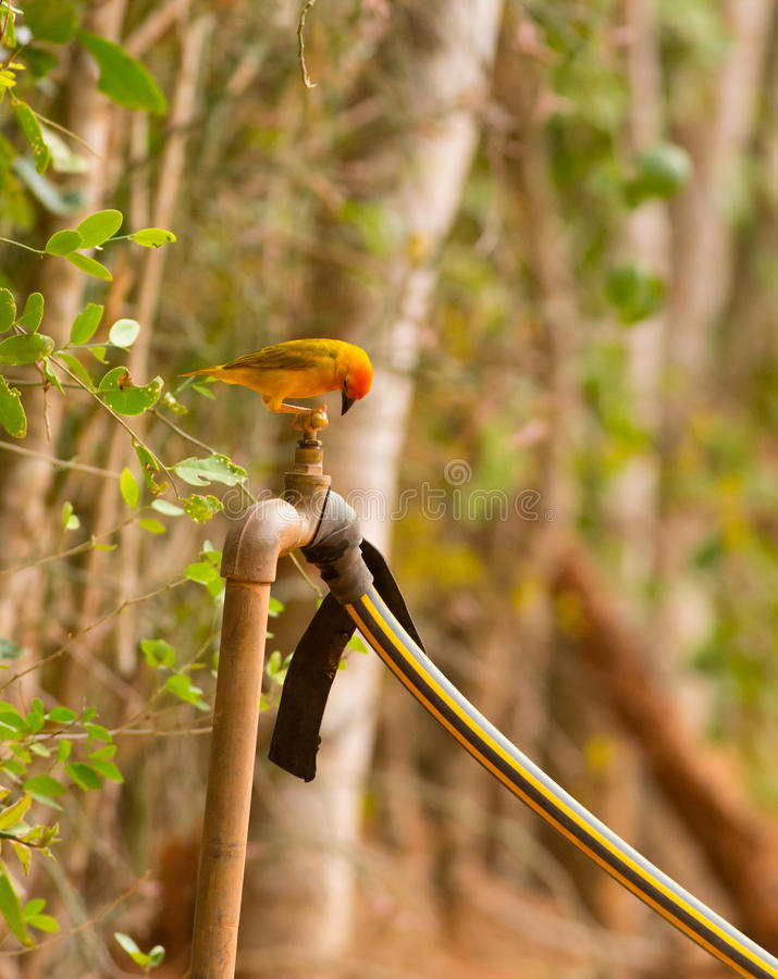 Golden Palm Weaver. Thirsty Golden Palm Weaver Ploceus bojeri trying to drink from the tap of an african garden royalty free stock image