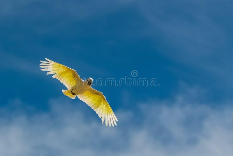 Golden Parakeet, yellow bird royalty free stock photo