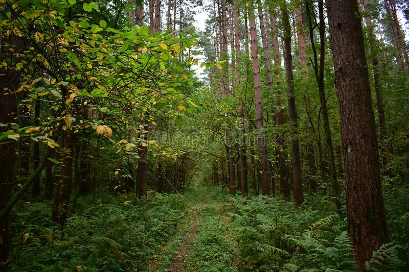 Golden path way road in the forest, yellow leaves on tree branches royalty free stock photography