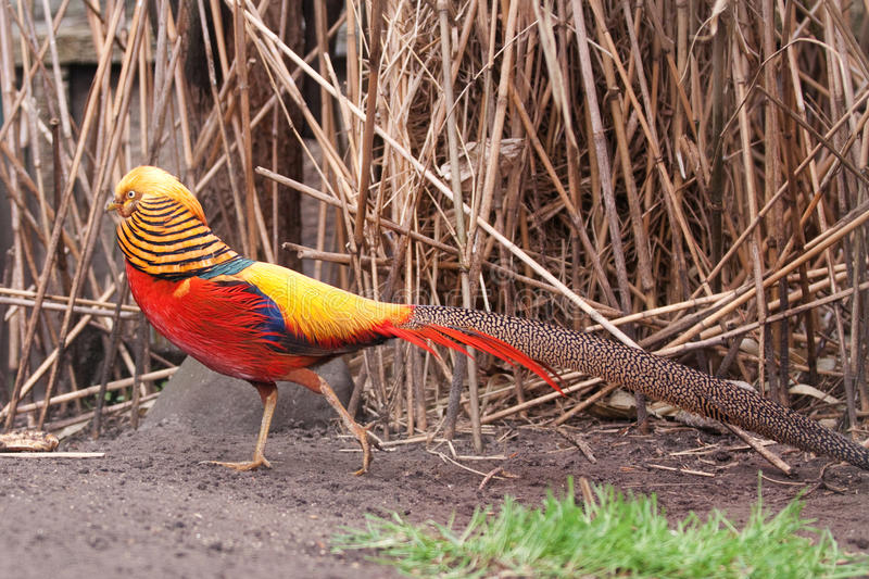 Download Golden Pheasant stock image. Image of colorful, feathers - 11287633