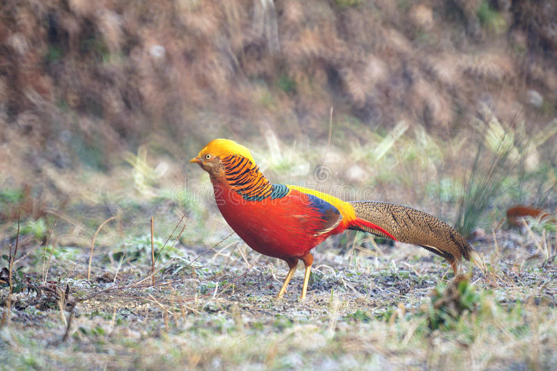 Download Golden Pheasant stock image. Image of phasianidae, wild - 29252819