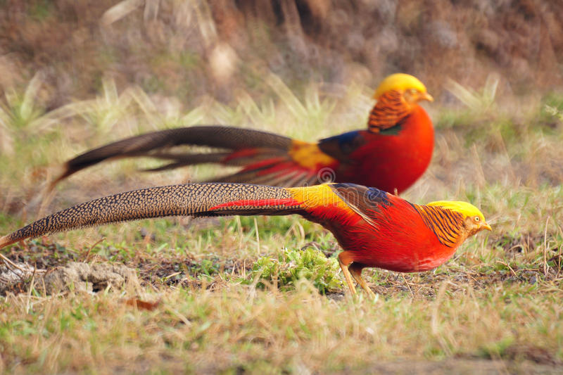 Golden pheasant. Two Golden pheasants on the grass. Scientific name: Chrysolophus pictus. Shooting in southern slope of Qinling mountain, China stock images