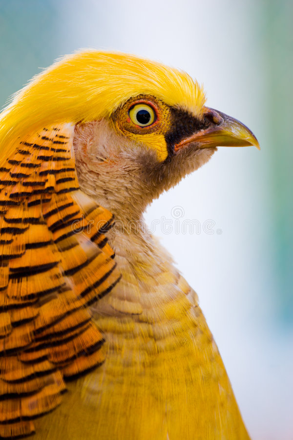 Download Golden pheasant stock photo. Image of poultry, animal - 3322224