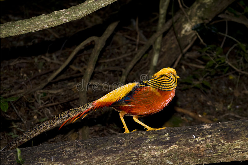 Golden Pheasant. Beautiful colorful Golden Pheasant in a wildlife sanctuary stock photography