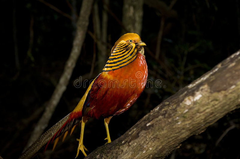 Golden Pheasant. Beautiful colorful Golden Pheasant in a wildlife sanctuary royalty free stock photography
