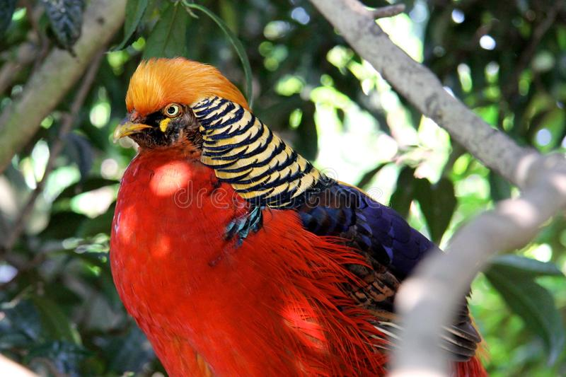 The Golden Pheasant or Chinese Phea