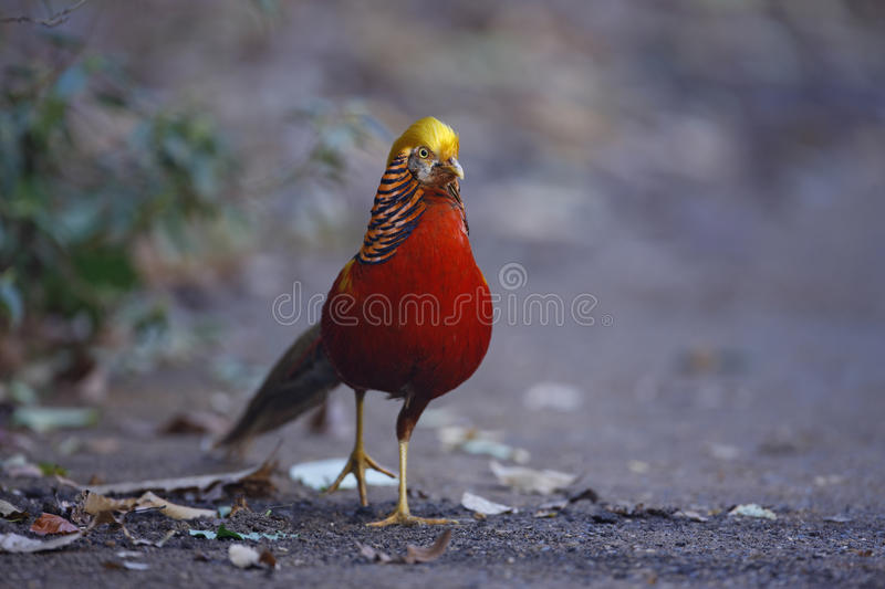 Golden pheasant, Chrysolophus pictus,. Male, Kew Gardens, London stock photo