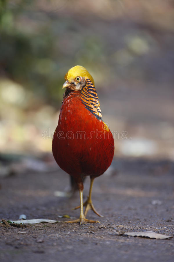 Golden pheasant, Chrysolophus pictus,. Male, Kew Gardens, London royalty free stock photography