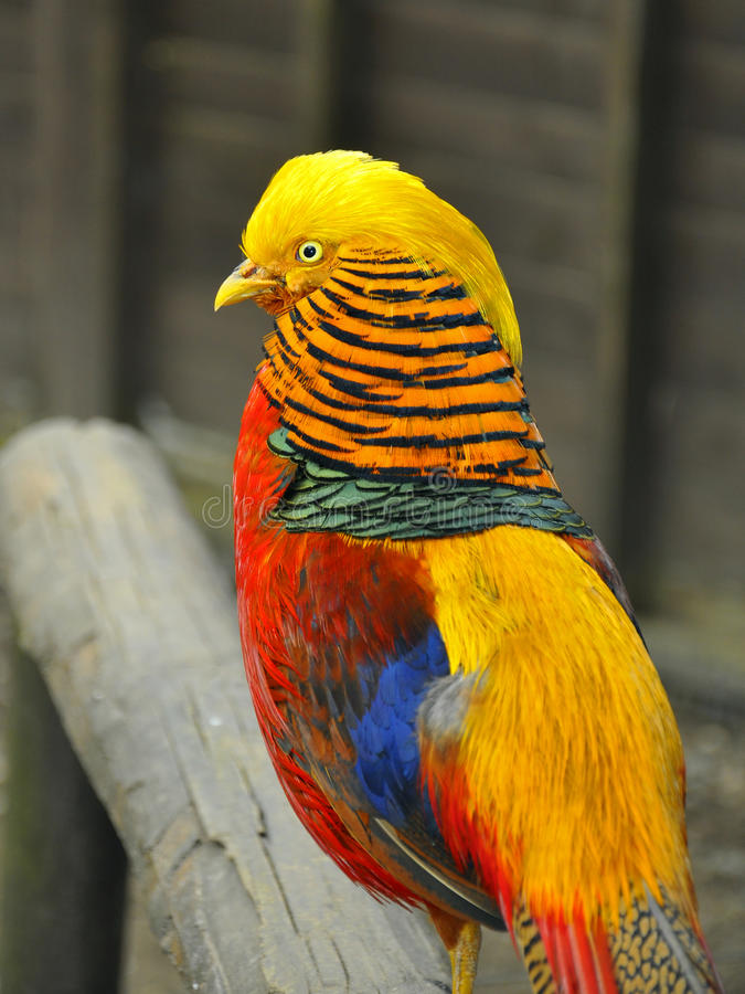 Golden pheasant closeup. Wildlife or birds life: yellow pheasant on a log stock photography