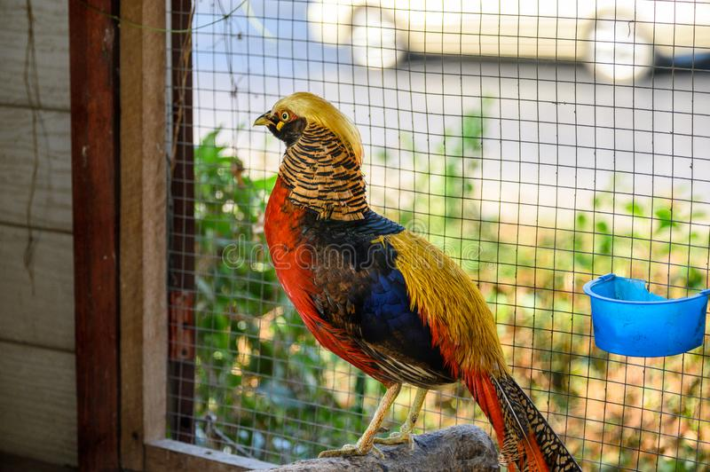 Golden pheasant is colorful wild bird royalty free stock images