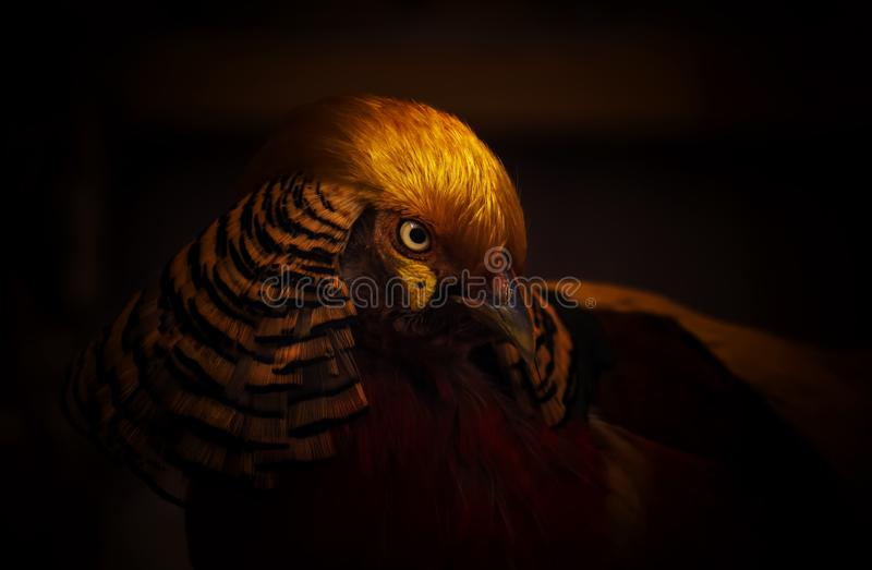 Golden pheasant on a dark background. Close-up. Unrecognizable place. Selective focus royalty free stock images