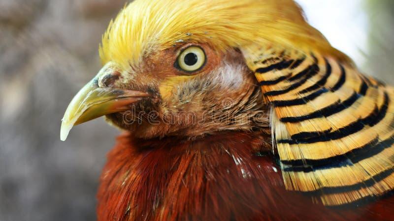 Golden Pheasant. Gold Pheasant Chrysolophus Pictus looks around royalty free stock photo