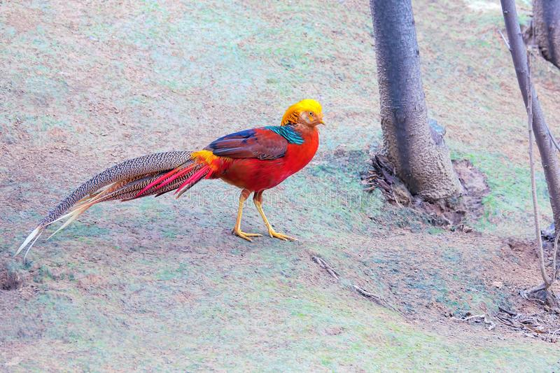 Golden pheasant. A male Golden pheasant stands on ground. Scientific name: Chrysolophus pictus royalty free stock photo