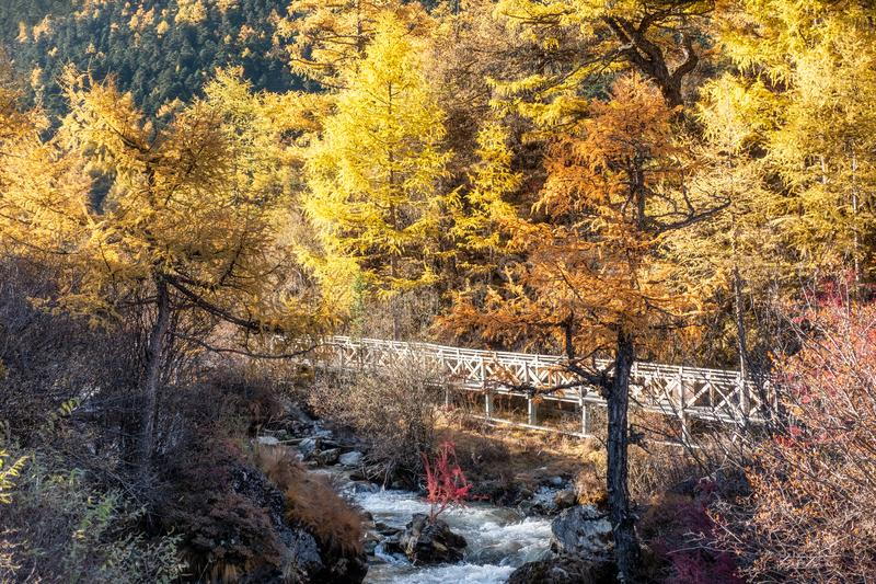 Golden pine forest with path in valley. At national park stock photography