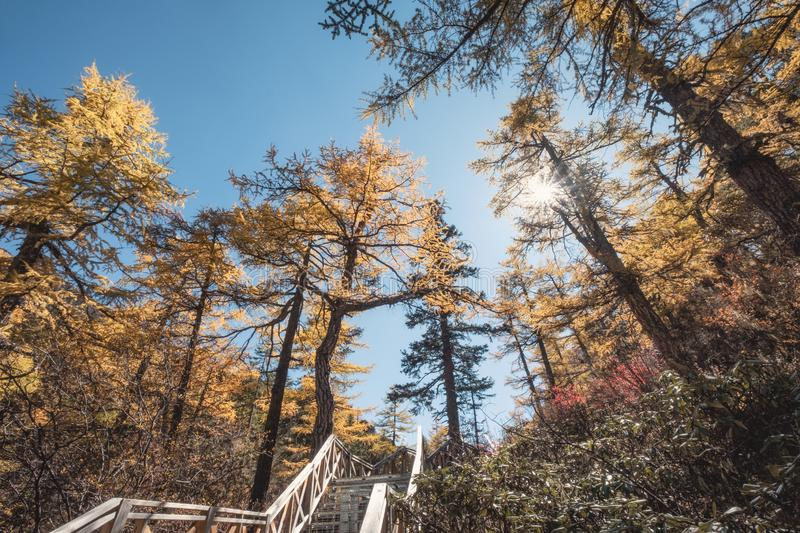 Golden pine forest with sunlight on path in valley. At national park royalty free stock images