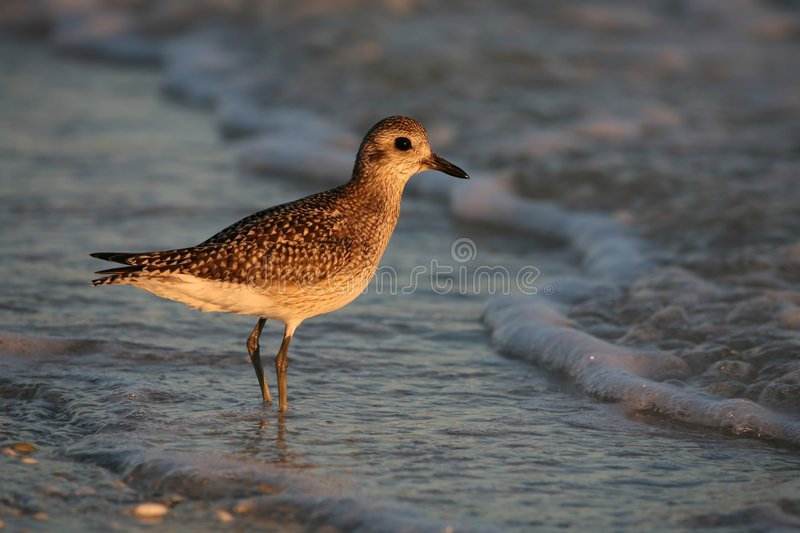 Golden Plover royalty free stock photography
