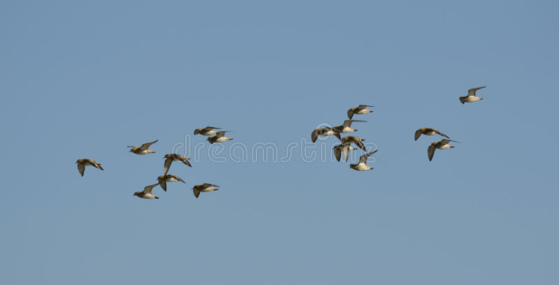 Golden Plovers Stock Images