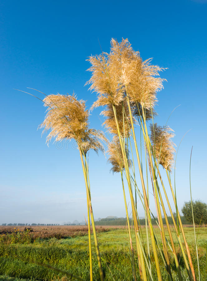 Golden plumes of pampas grass against a bright blue sky. Golden flower heads of Pampas Grass or Cortaderia selloana plants on a early morning in the fall season stock image