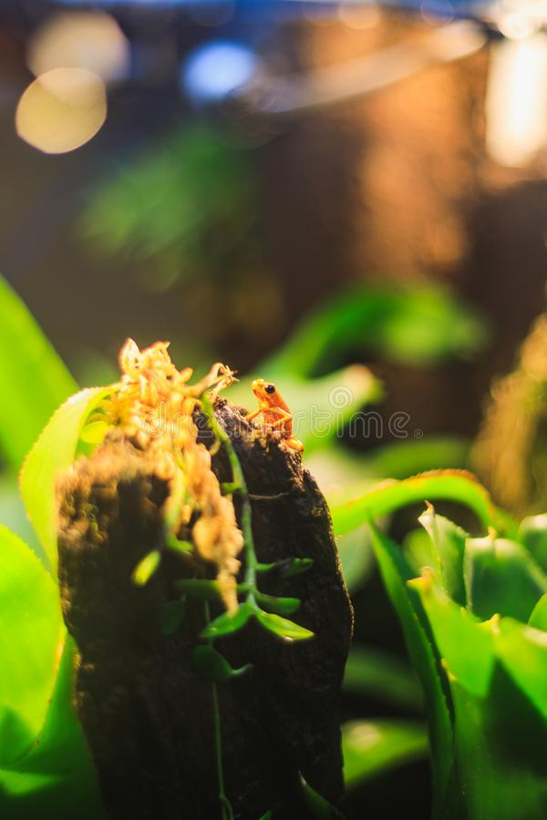 Golden Poison Arrow Frog in natural rainforest environment. Closeup of a Golden Poison Arrow Frog in natural rainforest environment stock photos