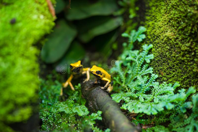 Golden Poison Arrow Frog. (Phyllobates terribilis). Colourful bright yellow tropical frog royalty free stock image