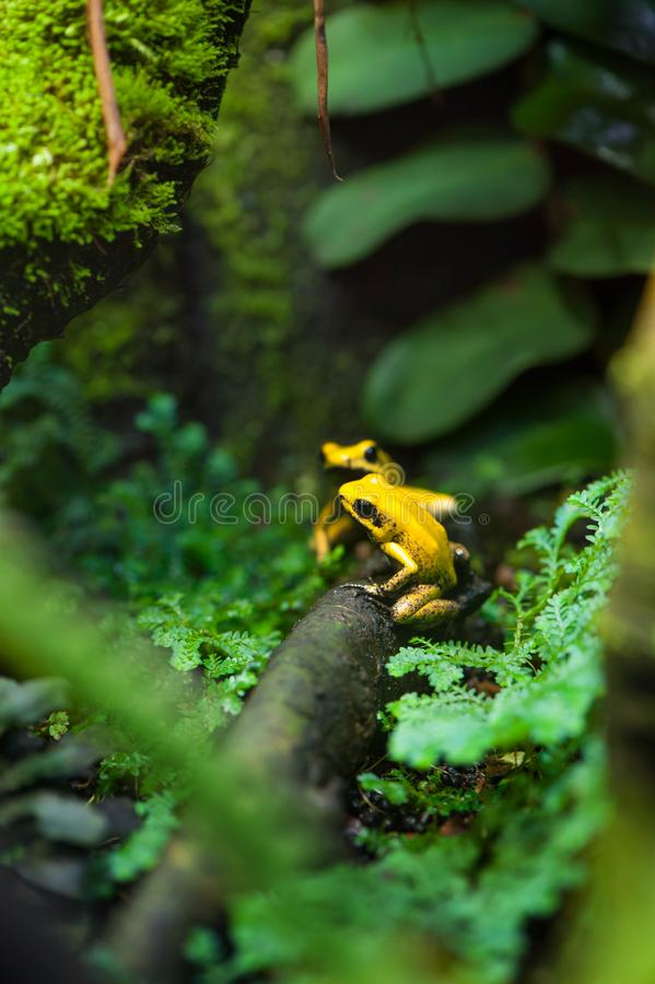 Golden Poison Arrow Frog. (Phyllobates terribilis). Colourful bright yellow tropical frog royalty free stock photo