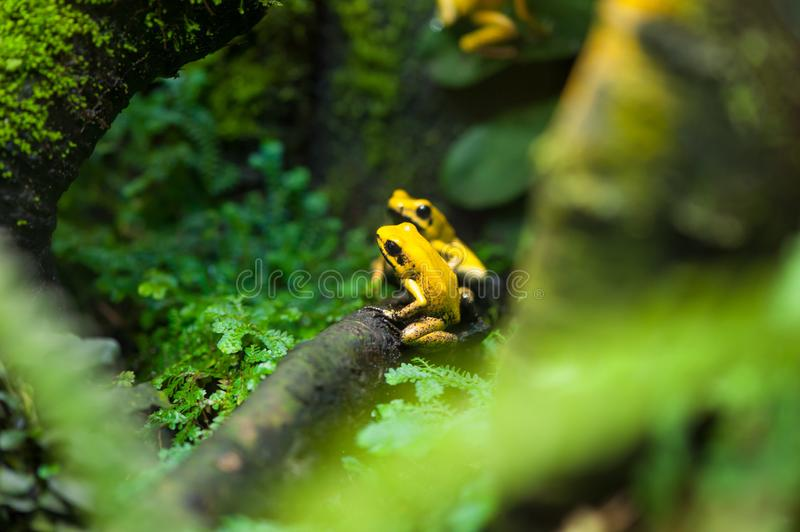 Golden Poison Arrow Frog. (Phyllobates terribilis). Colourful bright yellow tropical frog stock photos