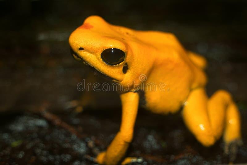 Golden Poison Dart Frog. Phyllobates terribilis stock photo