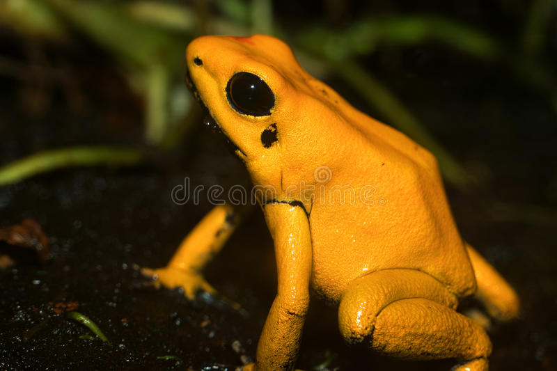 Golden Poison Dart Frog. Phyllobates terribilis stock photos