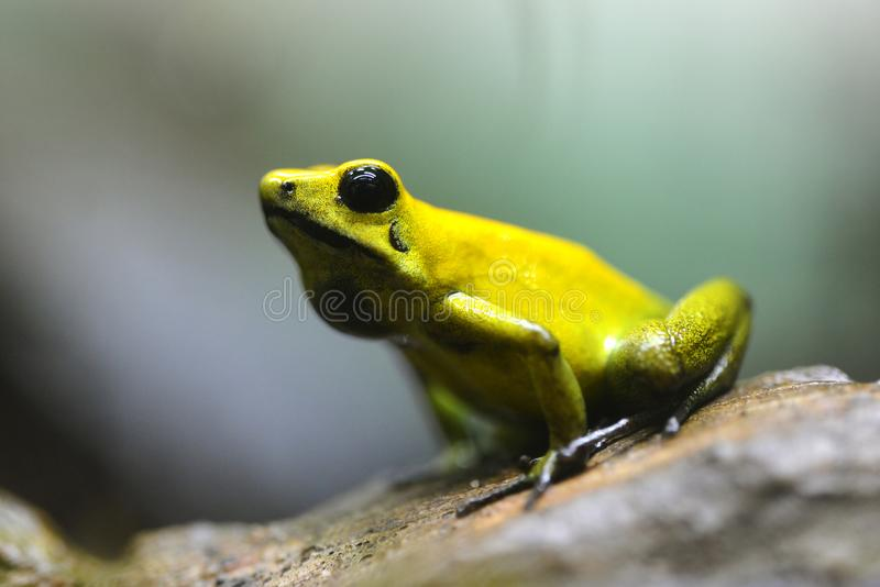Golden poison dart frog Phyllobates terribilis in rainforest. Tropical frog living in South America stock photography