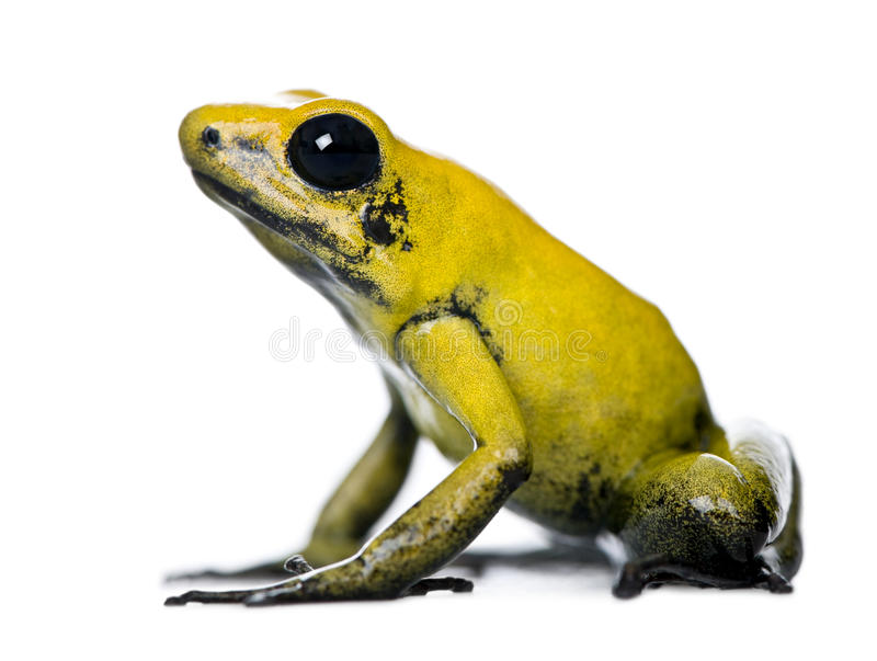 Golden Poison Frog against white background. Side view of Golden Poison Frog, Phyllobates terribilis, against white background, studio shot stock image