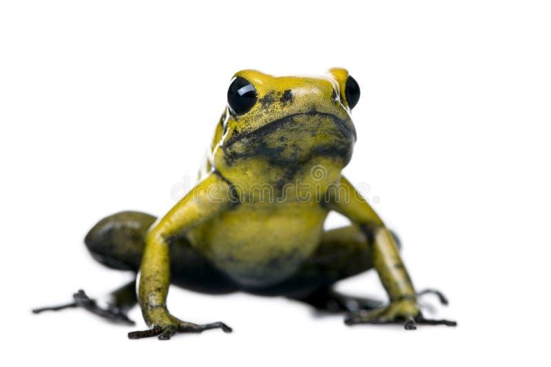 Golden Poison Frog against white background. Golden Poison Frog, Phyllobates terribilis, against white background, studio shot royalty free stock images