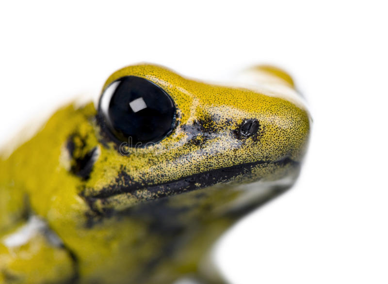 Golden Poison Frog in front of a white background. Close-up of Golden Poison Frog, Phyllobates terribilis, against white background, studio shot stock photo
