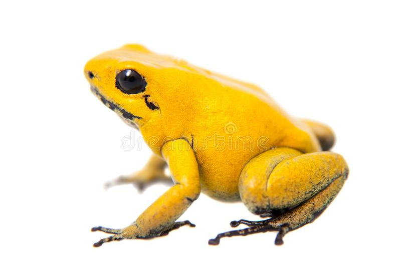The golden poison frog. Phyllobates terribilis, on white, on white background royalty free stock photos