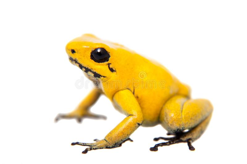 The golden poison frog. Phyllobates terribilis, on white, on white background stock images