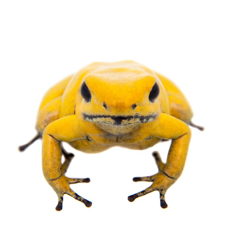 The golden poison frog. Phyllobates terribilis, on white, on white background royalty free stock photography