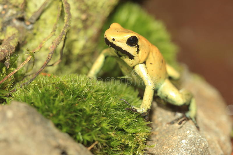Golden poison frog. On the moss royalty free stock images