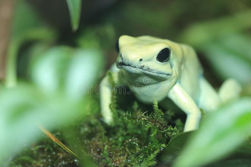 Golden poison frog. On the moss royalty free stock photography