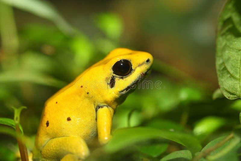 Golden poison frog. (Phyllobates terribilis royalty free stock image