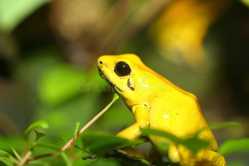 Golden poison frog royalty free stock image