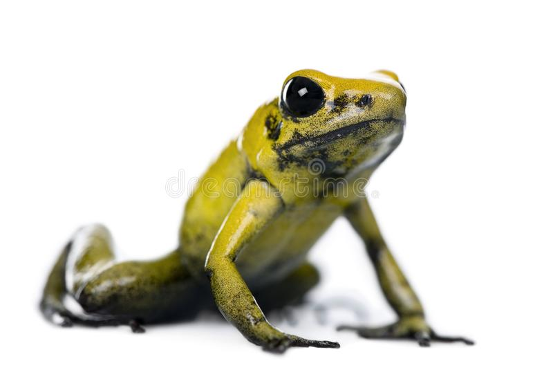Golden Poison Frog, Phyllobates terribilis. Against white background, studio shot royalty free stock photo