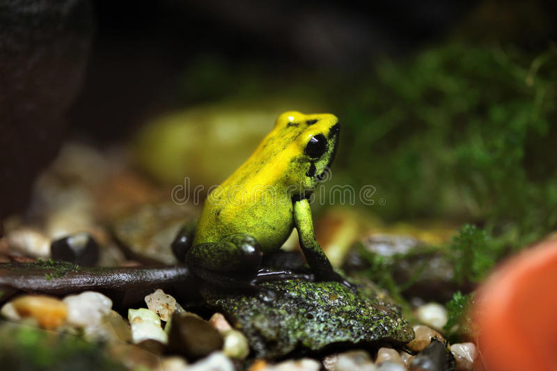 Golden poison frog (Phyllobates terribilis). stock images