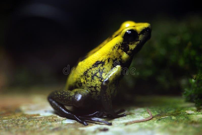 Golden poison frog (Phyllobates terribilis). Golden poison frog (Phyllobates terribilis), also known as the golden dart frog. Wildlife animal royalty free stock image