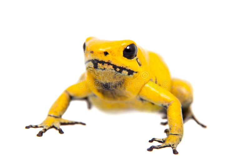 The golden poison frog. Phyllobates terribilis, on white, on white background royalty free stock images